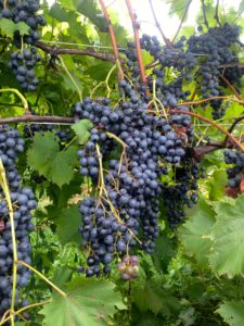 Dark purple grapes on the vines at Rockbridge Vineyard in Raphine, VA